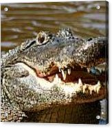 Hungry Alligator Acrylic Print
