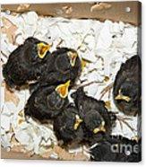 Hungry Baby Birds Acrylic Print