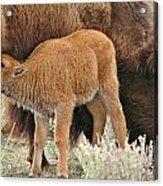 Hungry Baby Bison Acrylic Print
