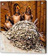 Hungry Baby Swallows - Antelope Island - Utah Acrylic Print by Gary Whitton