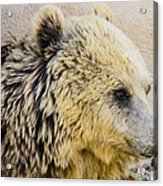 Hungry Bear Acrylic Print