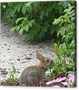 Hungry Bunny Acrylic Print