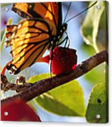 Butterfly And The Cherry Acrylic Print