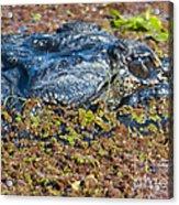 Hungry Eyes Acrylic Print