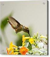 Hungry Flowerbird Acrylic Print