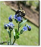 Hungry For Pollen Acrylic Print
