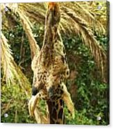 Hungry Giraffe Acrylic Print