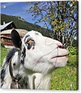 Hungry Goat Acrylic Print by Matthias Hauser