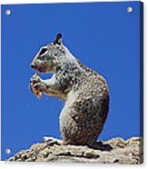 Hungry Ground Squirrel Acrylic Print