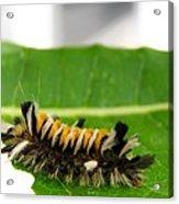 Hungry Hairy Caterpillar Acrylic Print