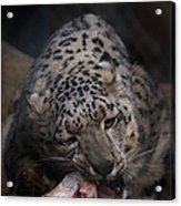 Hungry Leopard Acrylic Print