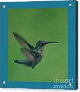 Hungry Little Hummingbird 4 Acrylic Print