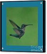 Hungry Little Hummingbird 6 Acrylic Print
