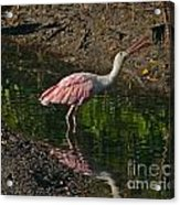 Hungry Pink Spoonbill Acrylic Print