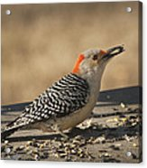 Hungry Red-bellied Woodpecker - Melanerpes Carolinus Acrylic Print