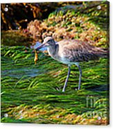 Hungry Willet Acrylic Print
