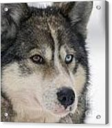 Husky Dog Breading Centre Acrylic Print by Lilach Weiss