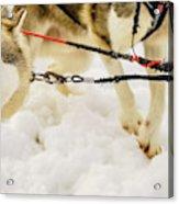 Husky Sled Dogs, Lapland, Finland Acrylic Print