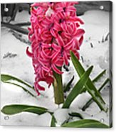 Hyacinth In The Snow Acrylic Print