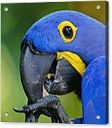 Hyacinth Macaw Anodorhynchus Acrylic Print