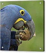 Hyacinth Macaw Habitat Eating Piassava Acrylic Print