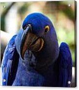 Hyacinth Macaw Acrylic Print