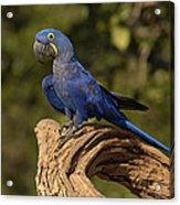 Hyacinth Macaw Portrait Brazil Acrylic Print
