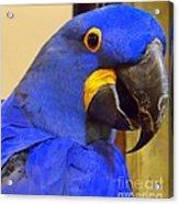 Hyacinth Macaw Portrait Acrylic Print