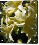 Hyacinth Named City Of Haarlem Acrylic Print