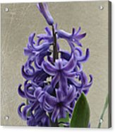Hyacinth Purple Acrylic Print