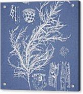 Hyalosiphonia Caespitosa Okamura Acrylic Print by Aged Pixel