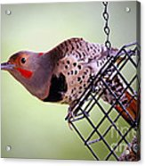 Intergrade Red Shafted And Yellow Shafted Northern Flicker Male Acrylic Print