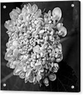 Hydrangea 3 Acrylic Print