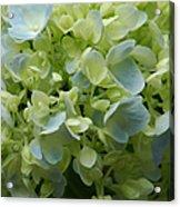 Hydrangea 5 Acrylic Print
