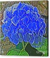 Hydrangea Blues Acrylic Print