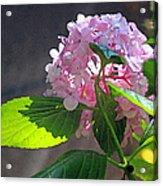 Hydrangea Heaven Acrylic Print by Suzanne Gaff