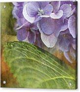 Hydrangea Portrait Acrylic Print