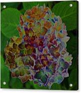 Hydrangea Solorized Acrylic Print