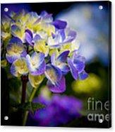 Purple Blue Hydrangea, Corona Del Mar California Acrylic Print
