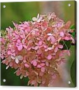 Hydrangea Valentine Acrylic Print