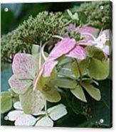 Hydrangea White And Pink I Acrylic Print
