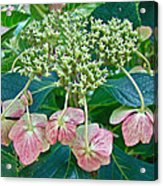 Hydrangea With A New Look Acrylic Print