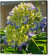 Hydrangeas First Blush Acrylic Print