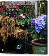 Hydrangeas Acrylic Print by Helen Carson