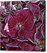 Hydrangeas In Rich Rose Color Acrylic Print