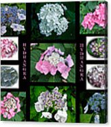 Hydrangeas On Parade Acrylic Print