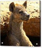 Hyena In Den Acrylic Print