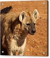 Hyena Acrylic Print
