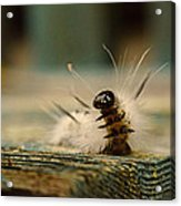 I Am A Caterpillar Acrylic Print