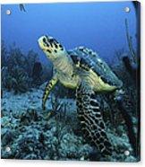 I Am A Proud Hawksbill Turtle Acrylic Print